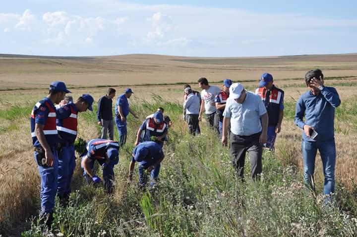 2 tarlada toplam 613 kök kenevir ele geçirildi Olayla ilgili 2 kişi gözaltına alındı   Sungurlu Haber