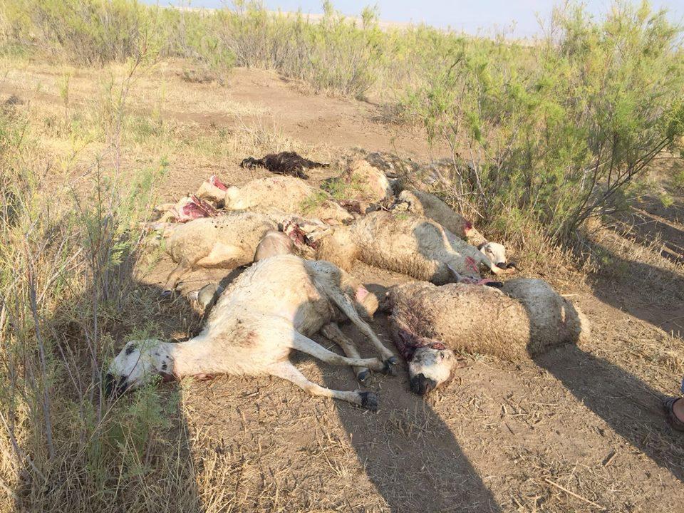 Sungurlu ilçesinde merada otlayan koyun sürüsüne kurtlar saldırdı. Olayda, 78 koyun telef oldu. Edinilen bilgiye göre İlçeye bağlı Çayyaka ve Kızılırmak'a bağlı Korçullu Köyü arazinde çoban Adil Kayretli'nin otlattığı 300 koyundan oluşan sürüye, kırsalda aç kalan kurt sürüsü saldırdı.   Sungurlu Haber